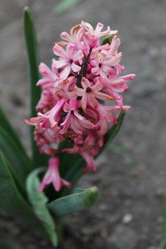 Красивый, розовый цветок)