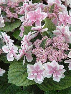 hortensia (zomer/herfst)