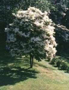 How to Plant a Japanese Lilac Tree
