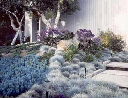 low water beautiful garden with blue chalk sticks and blue fescue