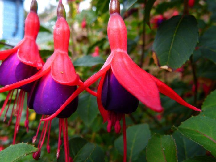 balkonpflanzen schattig fuchsien lila rosa blüten