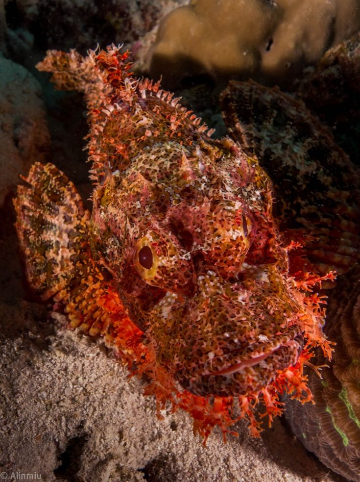 #scorpionfish #wepaphotography #underwaterphotography