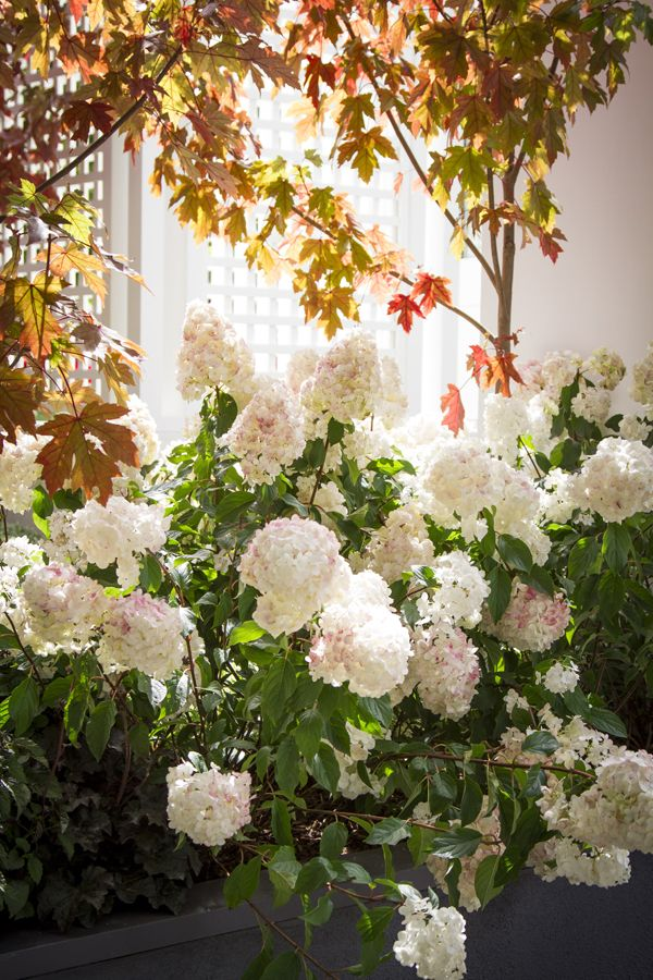 Hydrangea 'Sundae Fraise' •  Feature plant for small spaces Patios, balconies and entertainment areas • Colour for part shade to full sun locations • Medium-sized decorative containers