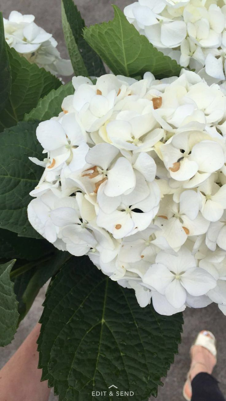 Fresh cut hydrangeas you are so divine, bright and beautiful. ScX