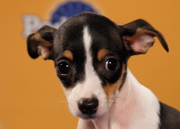 Puppy Bowl player Joni the rat terrier.