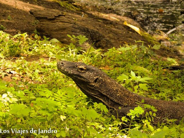 Dragón de Komodo en Indonesia