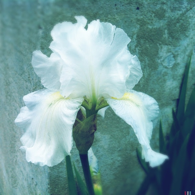 white iris fleur de lis pinterest. Black Bedroom Furniture Sets. Home Design Ideas