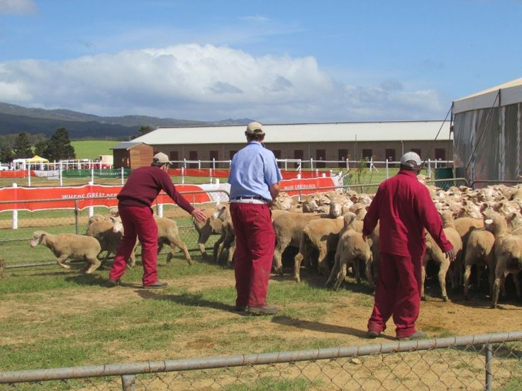 Sheep counting competition