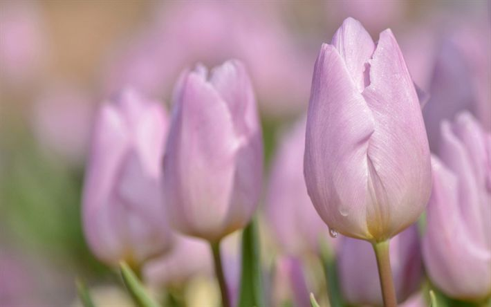 Download wallpapers pink tulips, spring field flowers, pink flowers, tulips