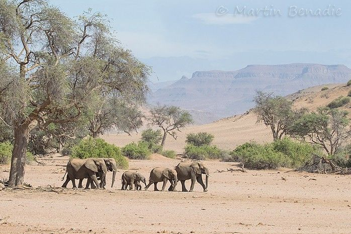 Desert-adapted elephant in Namibia