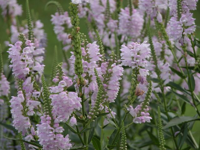 Top Plant Choices to Include in Your First Garden: Obedient Plant - Physostegia virginiana