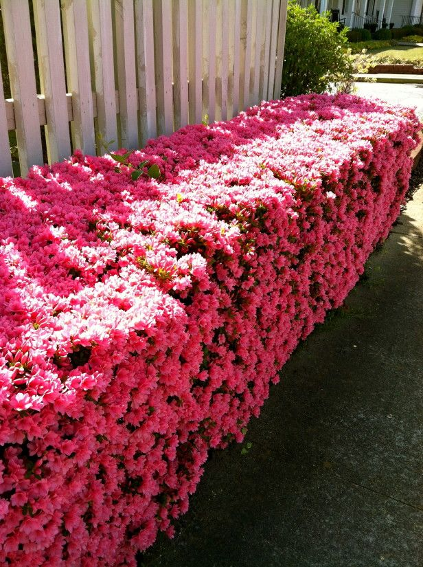 Azaleas have been trimmed into hedges pretty cool