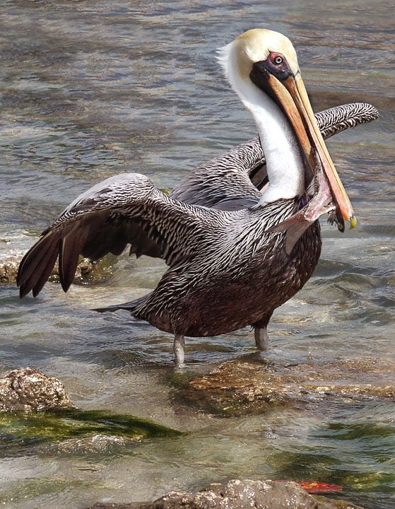 312 best pelicans images on pinterest beautiful birds for Best florida fish to eat