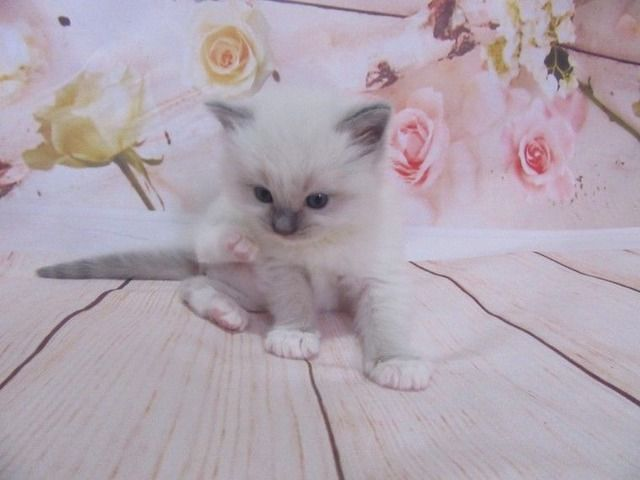 Playful Ragdoll Kittens For Sale Animals Rio Oso California