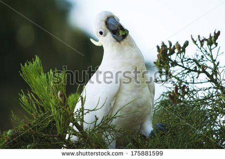 Lauren Proctor Photography   Cheeky Cockatoo in a Tree on Shutterstock