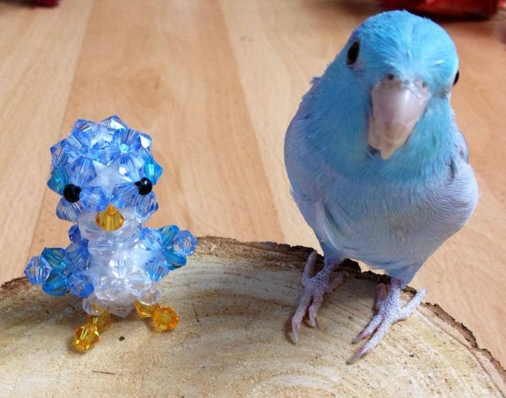 Bead bird, bead parrot, bead parrotlet. Blue bead male parrotlet. For sale, and available on www.facebook.com/Parrot.Littles