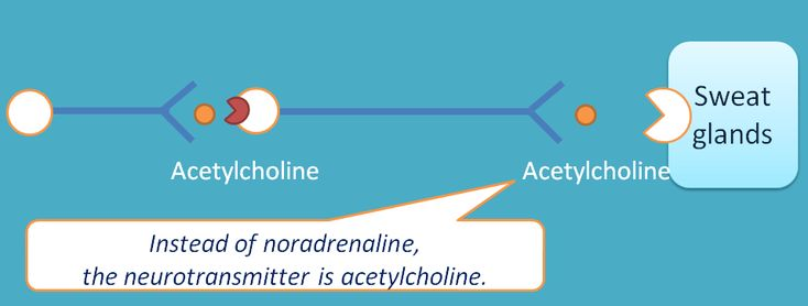 acetylcholine as mediator at sweat glands