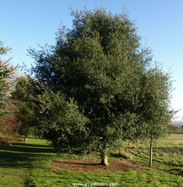 different trees of the world | Picture of the tree Coast Live Oak (quercus agrifolia oxydenia)