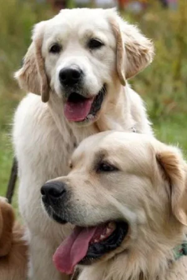 Golden Retrievers Gather In Village As They Mark 150 Year Annivery