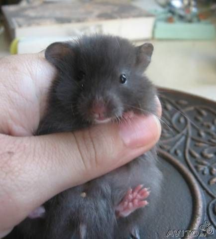 Pet stores in America make up names for black syrians, like Black Bear hamsters. (I don't live in America) If someone tries to sell you a black syrian for more than the other syrians, don't buy it, get it somwhere else for a cheaper price. I love black syrians though!