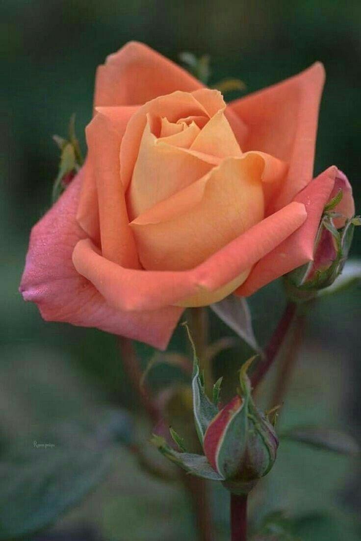 Pin De Guiga Wildgrub Em Roses Rosas Vermelhas Rosas Bela Rosa