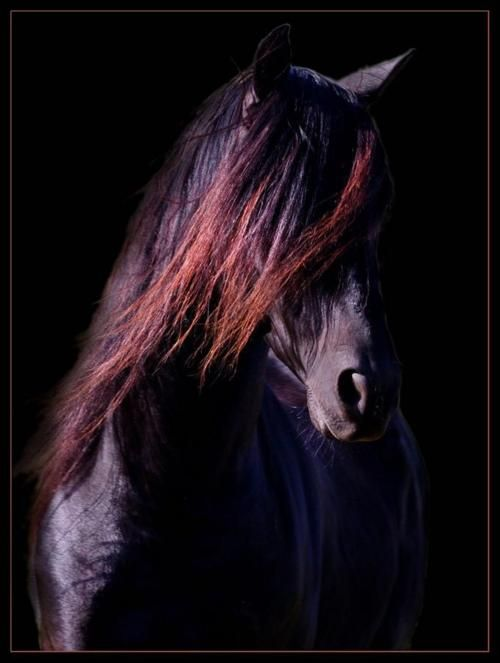 Friesian: Equine, Color, Hair