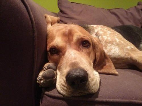 Meet Banjo, a Petfinder adoptable English Coonhound Dog | Washington, DC