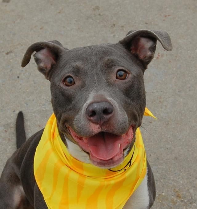 SAFE - 02/24/15 - NYC - Brooklyn PEPPER AKA Jamie, has a Beautiful Spirit !!!! A Loving Funny Girl!!! - ID#A0892272/1805 - Spayed female, gray and white Pit Bull Terrier mix.about 4 years old.I have been at the shelter since Dec 19, 2014
