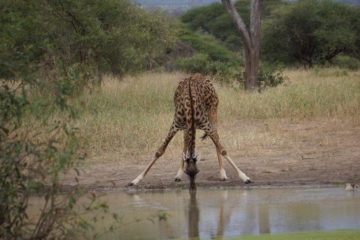 Giraffe drinking water at Tarangire River, Tarangire National Park, Tanzania