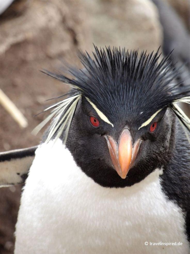 Felsenpinguine, Falklands  #felsenpinguin #rockhopper #falklands #falklandinseln #westpointisland