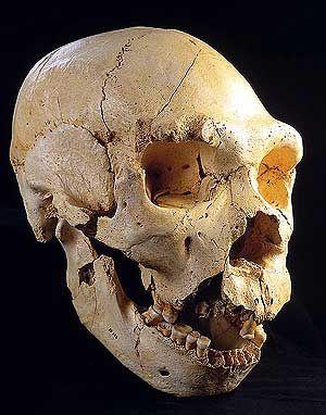 Cráneo del Homo antecessor.