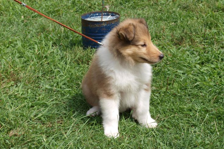 Rough Collie Puppies For Sale | Dog Bazar