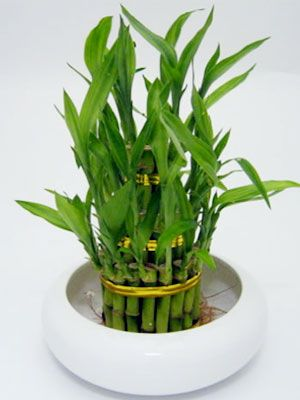 Lucky Bamboo 2 Layer  (plants)  Lucky Bamboo is thought to bring Good Fortune.This Unique Plant is very elegant and extremely easy to grow.