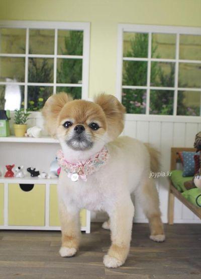 Pomeranian Grooming Styles pomeranian