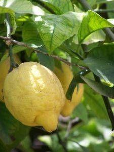 How to Grow Lemon Trees in Pots
