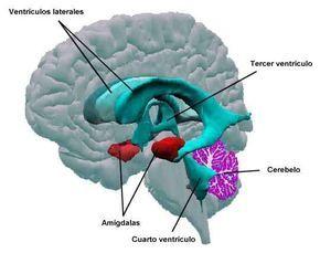 El núcleo central de la amígdala tiene conexiones con el tronco cerebral, con las que se regulan diversas respuestas del sistema nervioso autónomo.