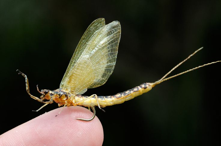 Realistic hex mayfly on top of my finger see more for Fly fishing tying
