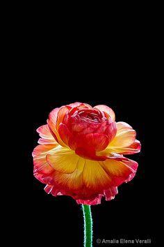 Ranunculus, red and yellow - ID: 13066625 © AMALIA Veralli