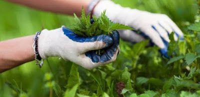 ΕΛΛΗΝΙΚΗ ΔΡΑΣΗ: Η τσουκνίδα :Το φυτό με τις 60 διαφορετικές θεραπε...