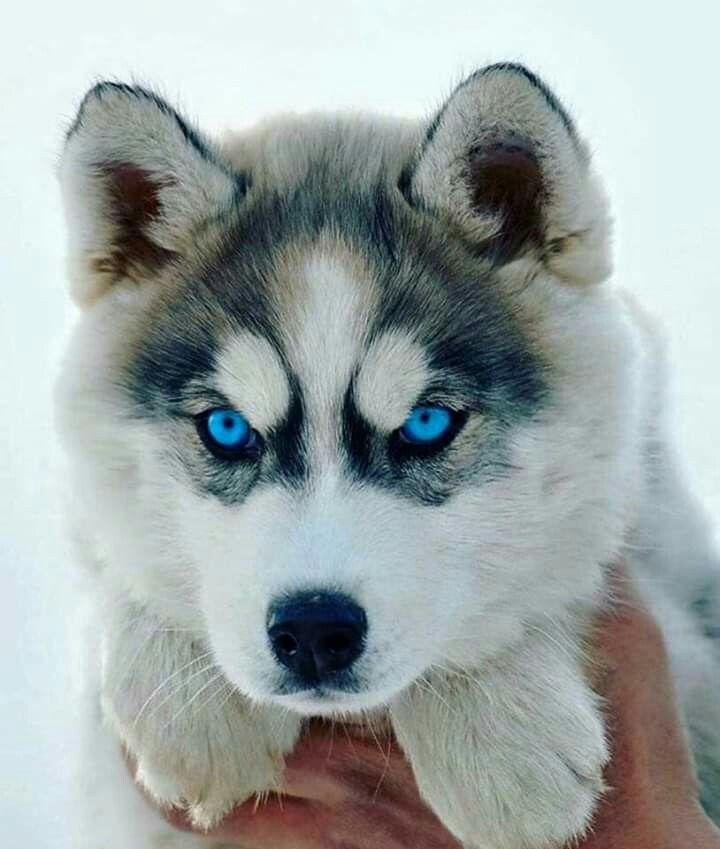 Beautiful Eyes Cute Baby Animals Cute Puppies Husky Dogs