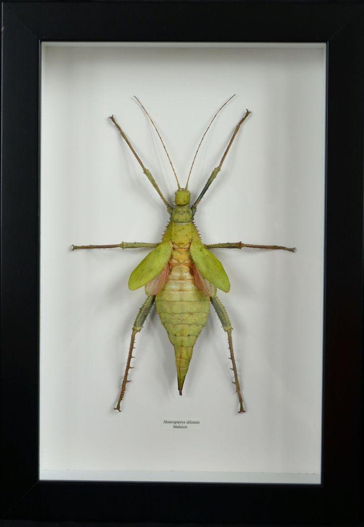 Phasme géant Heteropteryx dilatata de Malaisie avec cadre et verre : Décorations murales par papillon-ulysses
