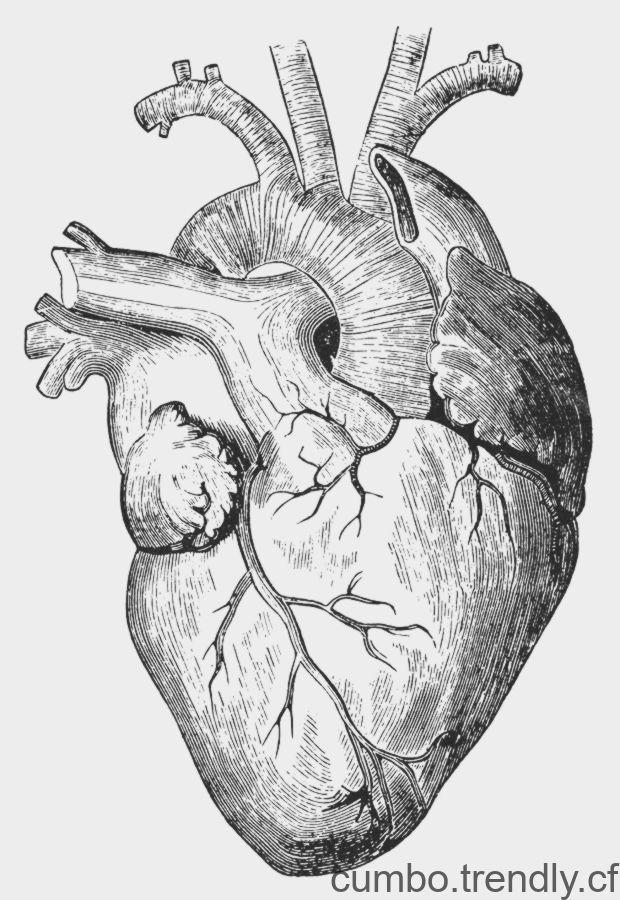 Photographie Du Xixe Siecle Cœur Humain De Granger Coeur Humain
