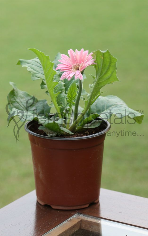 Gerberas are one of the most beautiful and sought-after flowers. Gift them to your loving mom on this #mother's #day and take away all praises.