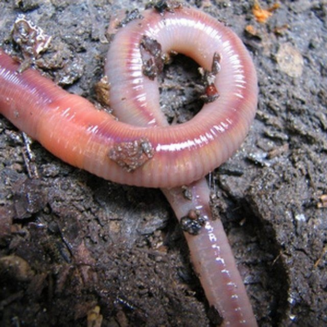 17 best images about fishing on pinterest bait how to for Best worms for fishing