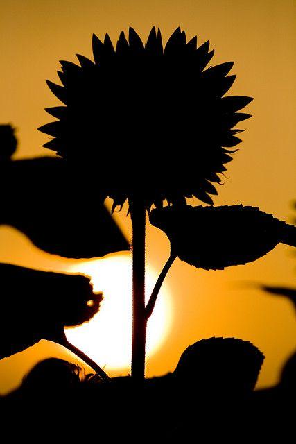 sunset - Sunflower and shade - stunning photography!