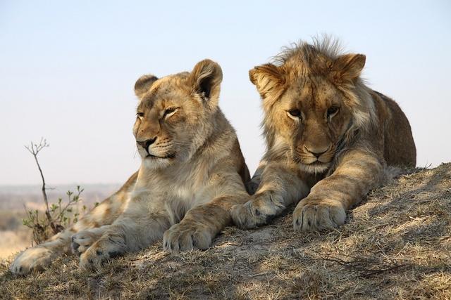 Lion Walk, Antelope Park, via Flickr.