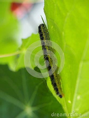 Close-up of green, yellow and black hairy caterpillar  crawling up the underside of a nasturtium leaf.  Found in Athens, Greece.