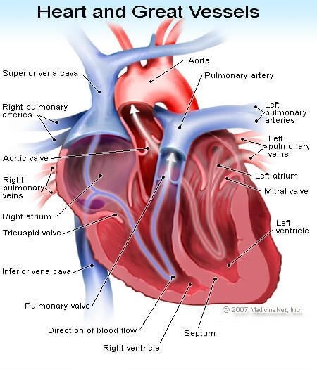Picture of the great vessels of the heart.