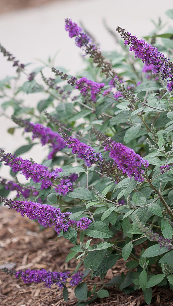 Lo Behold Blue Chip Jr Butterfly Bush Buddleia X Butterfly Bush Plants Garden Shrubs