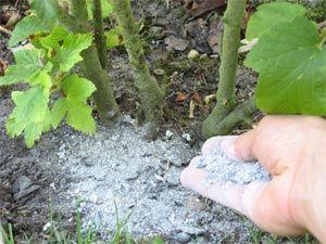 Cendres : mettez des cendres de votre cheminée ou du barbecue au pied des plantes pour leur donner une bonne dose de potassium. En plus les limaces détestent les cendres.